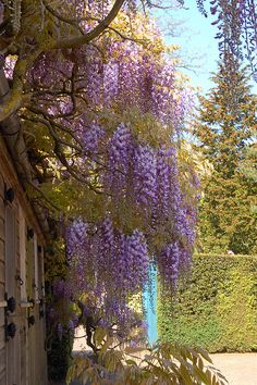 Wisteria at Hidcote Manor in the Cotswolds