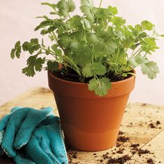 Potted herbs on the kitchen windowsill or under glass cloches on the table; pretty and functional