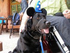 Service dog at Disneyland. Nobody welcomes service animals like Disney..Wonderful.