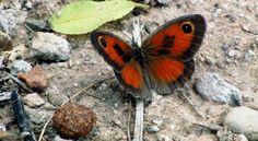 ' butterfli, mariposa