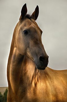 Golden Thought by Dan65, via Flickr  Akhal-Teke