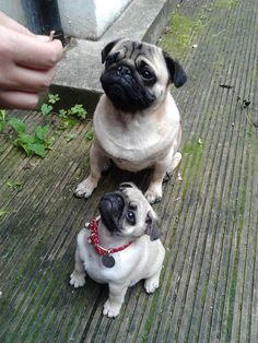 young and adult pug