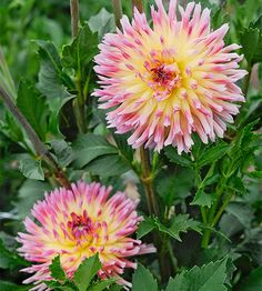 These dahlias make a great cut flower for your next arrangements: http://www.bhg.com/gardening/flowers/best-cut-flowers/?socsrc=bhgpin021014dahlia&page=10