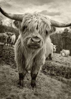 Dan Routh Photography: Scottish Highland Cattle