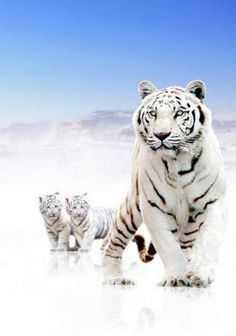 White tiger with two cubs