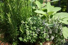 When to Harvest Certain Herbs
