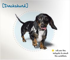 """Did you know that Dachshund means """"badger dog"""" in German, and they were originally bred in the early 1600s to hunt (you guessed it) badgers? Read more about this breed by visiting Petplan pet insurance's Condition Checker!"""