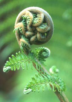 fiddlehead, garden design, inspir, beauti, modern garden, ferns, silver fern, flower