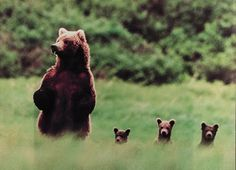 animals, mothers, teddy bears, triplet, kids, families, bear cubs, baby bears, grizzly bears