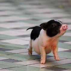 tiny pig with a big tummy...