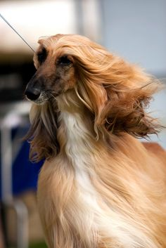 .afghan hound