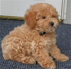 Dog breed:  Apricot Miniature Poodle