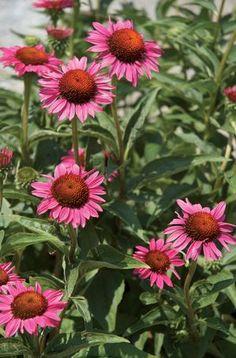 Echinacea (Echinacea Purple Fantasy™ Coneflower)