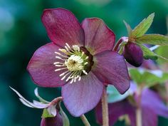 Let's start with a look at some of our favorite flowers and tips to grow them.  The magnificent Lenten Rose loves moist shade, and often blooms before winter ends, then continues through spring. Plants are tufts of glossy evergreen leaves, and single rose form flowers come in colors -->  http://www.hgtvgardens.com/photos/flowering-plants-photos/50-fabulous-flowers?soc=MGPN singl rose, flowering plants, form flower, lenten rose, garden plants