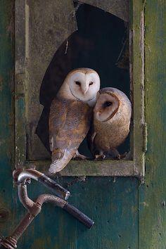 Barn Owls  http://ourbeautifulworldanduniverse.com/owls.html