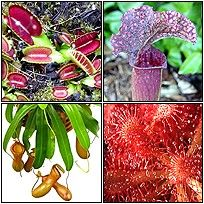 Carnivorous plants are the bees knees.