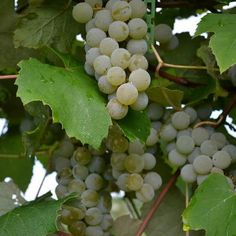 Peace Valley Winery - for pick-your-own grapes!
