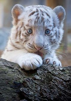 white tigers, big cats, pet, tiger cubs, ador, baby animals, animal babies, baby blues, eyes