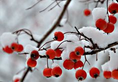 Winter Red Berries. Nature.