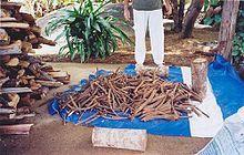 Freshly harvested caapi vine ready for preparation