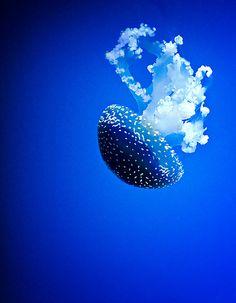 Blue Jellyfish #colormeblue #jellyfish #FLVS