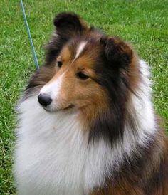 ❤️ Shetland Sheepdog (Sagebrush)