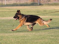 German Shephard Dog GCH CH Babheim's Captain Crunch