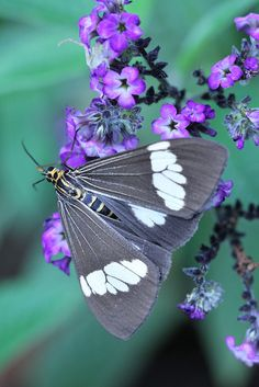 Gorgeous grey Butterfly