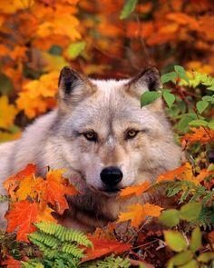 Nice photo....beautiful wolf...