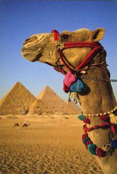 Eygpt, Camel and pyramids.