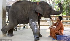 Mosha, an Asian elephant lost her right leg after stepping on a landmine at 7 months old. Close to death, she was rescued and brought to the Friends of the Asian Elephant hospital in Lampang, Thailand, where she became the first elephant in the world to be fitted with a prosthetic leg in 2007. Pictured here in 2009, she was fit with a new leg to keep up with her rapid growth. Her home in the tropical jungle of northern Thailand, near the Cambodian border, is an orphanage for elephants.  The gentle giants are the new symbol of the fight against the banned weapons.  Thousands of Thais have been injured and killed due to landmines, with a recent survey estimating there are about 100 new mine casualties each year.  Mosha is a resident of the Friends of the Asian Elephant hospital in Lampang, Thailand. via dailymail.com #Elephant #Landmine #Mosha #dailymail