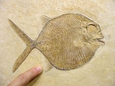 Lovely fossil fish