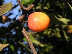 The wily wild plum