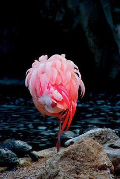 Beautiful Sleeping Flamingo ♥  No one knows for sure why flamingoes stand on one leg. Theories include conservation of body heat and promoting ciriculation.
