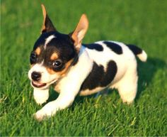 Adorable little Rat Terrier puppy.. Click on the pic for more #pets