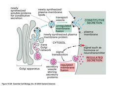 exocytosis - Google Search