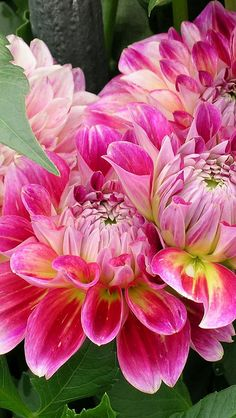 Pink Dahlias   (by vadaka1986)
