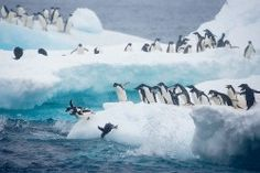 """iceberg, bucket list, penguinspolar bear, anim, antarctica, adeli penguin, """"adelie penguins"""", adelin penguin, place"""