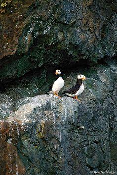 Horned Puffin, Resurrection Bay, Seward, Alaska