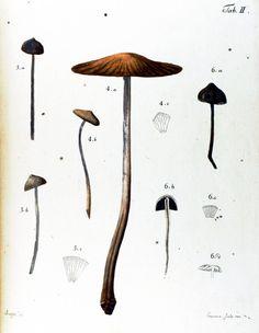 mushroom inspir, botan inspir, vintag mushroom, mushroom specimen, art, vintage mushrooms, specimen print