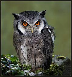 Scops owl (otus scops) Pinned by www.myowlbarn.com
