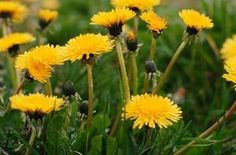 Homemade all natural dandelion killer