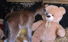 cute video :)  -  Orphaned Foal Finds Comfort in Giant Teddy Bear After Rescue - Breeze sleeps with a teddy bear. That isn't so unusual — except that Breeze is a horse.  Read more: http://www.care2.com/causes/orphaned-foal-finds-comfort-in-giant-teddy-bear-after-rescue.html#ixzz2WPv8qCpI