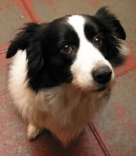 border collies, balls, anim, foods, dogs, the face, pet, gift cards, puppi