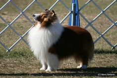 Such a beautiful sheltie