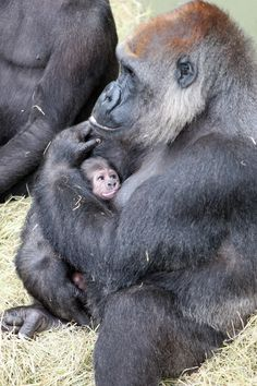 Safe in mamas arms - baby gorilla at the dublin zoo