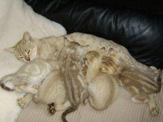 Unusual Cat Breeds
