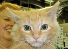 BLAZE is an adoptable Domestic Medium Hair-Orange Cat in Statesville, NC. Blaze is a fluffy, nice large baby boy!! Talk about cute, he has that all tied up. When you see him, you just want to scoop hi...
