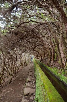Tunnel of trees, Levada walk to 25 Fontes in Madeira Island, Portugal