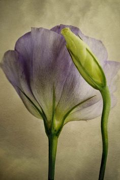 lavender flower with bud